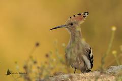 Abubilla (Upupa epops) (jsnchezyage) Tags: upupaepops abubilla ave pájaro bird birding beak feather ornithology birdwatching hoopoe ngc npc