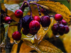 Day 329 Droplets (Dominic@Caterham) Tags: leaves berries bush water droplets reflection twigs