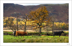 Autumn & Cows - (Jupiter 9, 85mm, f5.6) - 2019-11-08th (colin.mair) Tags: autumn derwentwater england jupiter9 lakedistrict lens m42 manual panorama russian ussr cows f56 grass hills trees 85mm