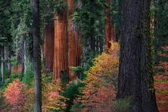 Autumn's Aura (jojo (imagesofdream)) Tags: nikon natgeo forest california landscape autumn fallcolors