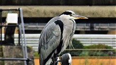 """"""" Sail on silver girl, Sail on by, Your time has come to shine, All your dreams are on their way """" (gohope777) Tags: heron fishing leeds dock west yorkshire"""