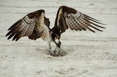 Osprey The Hunter (Eyes Open To Life) Tags: osprey bird animal prey hunter eating nature avian predator beach sand