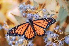 Monarch and Mistflowers (Stephen G Nelson) Tags: insect butterfly monarch mistflower flower botanicalgarden tucson arizona