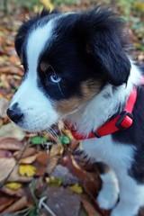 Frida 10 Wochen alt (glaserei) Tags: hunde hund haustier frida australianshepherd aussie