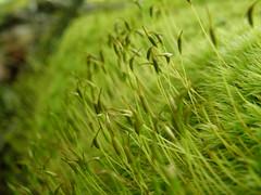 Dicranum scoparium (EmilieAncolie) Tags: bryophytes mosses flora mousses moss nature flore biodiversité