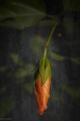 Hibiscus Bud (paulgarf53) Tags: hibiscus bud bloom blossom orange flower garden nature florida topaz macro nikon d700 150mmf28exdgoshsmapomacro