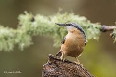 Nuthatch D85_7344.jpg (Mobile Lynn) Tags: nature nuthatchestreecreepers birds nuthatch bird eurasiannuthatch fauna passerine sittaeuropaea sittidae wildlife coth specanimal ngc coth5 npc