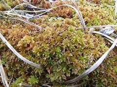 Sphagnum subnitens (EmilieAncolie) Tags: sphagnum sphaignes moss mosses mousses bryophytes flore flora nature biodiversité