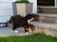 Out for an inspection (vanstaffs) Tags: tussi tuzz tuxedocat t tux tusse tutu tuzz® myprettytuxedogirl