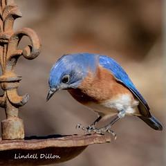 Daddy Bluebird (Lindell Dillon) Tags: easternbluebird sialis bird birding ebird nature oklahoma wildoklahoma