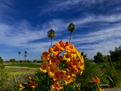 The Horn Section (oybay©) Tags: orange orangetrumpets tecoma flowers flora flores fiori blumen arizona bokeh suncitywest az