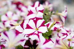 Flower power (JarkkoS) Tags: 50mmf14g boat boating bokeh d850 finland flower flowers kukka porvoo uusimaa
