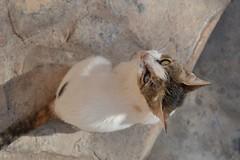 Oman (ELENA TABASSO) Tags: gatto gatti cat cats animale animali animal animals