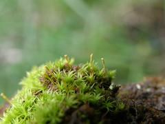 Ulota crispa (EmilieAncolie) Tags: bryophytes moss musgos mosses mousses nature flore flora biodiversité