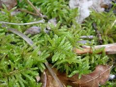Pseudoscleropodium purum (EmilieAncolie) Tags: bryophytes mosses moss mousse mousses flore flora musgo nature biodiversité