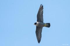 DSC_4358 (P2 New) Tags: 2019 animaux avril bretagne date falconidae falconiformes fauconpelerin france illeetvilaine localité oiseaux saintmalodephyli