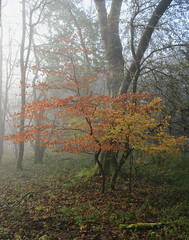 A bit of Colour (M.T.A.V) Tags: nature nationalpark south southdownsnationalpark southdowns westsussex hartingdown colours autumn autumnal autumnalcolours seasonal seasons season leaves wood woodland wooded northerneuropeanwoodland forest mist misty fog foggy foliage orange red yellow canon canoneos750d canon750d photography photograph efs1855mm calm woodlandwalk colourful colour