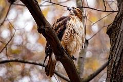 Red-Tailed Hawk (Ray Akey - Photographer) Tags: birds ontario wildlife hawk red tail tailed prey birdofprey ojibway