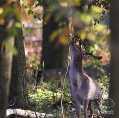 Fallow Buck (www.chrisdraperphotography.com) Tags: wildanimals britishwildlife wildlife deer fallowdeerbuck buck fallowdeer