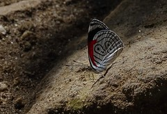 Eighty eight butterfly (Beppie van Gompel) Tags: guatemala paradise butterflies eightyeightbutterfly nature traveling