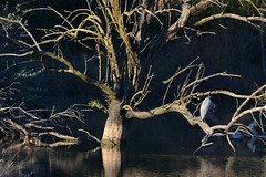 Out on a Limb (NaturalLight) Tags: dead tree branches heron chisholmcreekpark wichita kansas