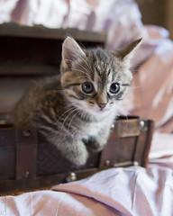 20190701_8955c (Fantasyfan.) Tags: european kitten kuunkissan tabby fantasyfanin