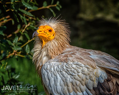Egyptian vulture (Neophron percnopterus)-9727 (George Vittman) Tags: birds nature wildlife vulture portrait nikonpassion wildlifephotography jav61photography jav61 fantasticnature