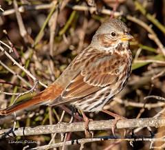 Fox Sparrow (Lindell Dillon) Tags: songsparrow winterbirds bird birding ebird nature oklahoma wildoklahoma