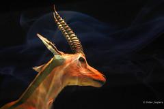 Springbok (Peter Jaspers) Tags: frompeterj© 2019 olympus zuiko omd em10 1240mm28 leiden naturalis springbok hss sliderssunday antelope antidorcasmarsupialis