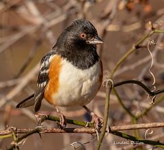 Spotted Towhee (Lindell Dillon) Tags: spottedtowhee winterbirds bird birding ebird oklahoma wildoklahoma nature
