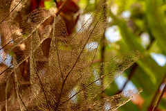 Fagile Decaying Leaf (Eyes Open To Life) Tags: leaf nature decaying skeleton plant fragile patterns life