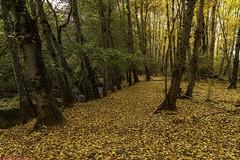 Autumn is coming through the Forest ......, El Otoño viene por el Bosque...... (Joerg Kaftan) Tags: walk forest autumn colors views landscape environment spain madrid canon paseo bosque otoño colores vistas paisaje ambiente españa