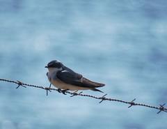 Golondrina en un alambre (carlos_ar2000) Tags: golondrina swallow ave pajaro bird naturaleza nature animal alambre wire cielo sky mirada glance ciudadvieja montevideo uruguay