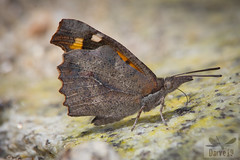 Mariposa del Almez - Libythea celtis ( BlezSP) Tags: mariposas butterflies spain madrid comunidaddemadrid lepidoptera libytheaceltis mariposadelalmez españa extremadura