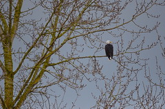 Out On A Limb (Neal D) Tags: bc abbotsford willbandcreekpark bird eagle baldeagle
