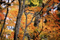 maple trees (slowhand7530) Tags: nikon d800e carlzeiss aposonnar sonnar 135mm sonnar1352zf aposonnart2135