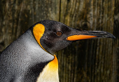 Portrait of the king (ORIONSM) Tags: king penguin bird animal nature beak eyes face olympus omdem1 olympus40150mmprof28