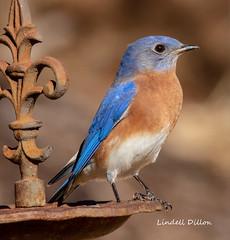 Eastern bluebird (Lindell Dillon) Tags: easternbluebird sialis bird birding ebird nature normanok oklahoma wildoklahoma