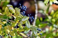 Berries in the Sunlight (Anne Ahearne) Tags: nature plant bush shrub berries berry blue sun sunlight leaves bokeh wild privet