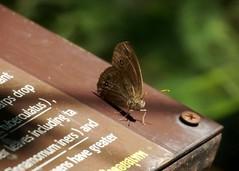 THE INTERMEDIATE BUSHBROWN - MYCALESIS JANARDANA (nikolayloginov) Tags: mycalesisjanardana butterfly thailand бабочка таиланд
