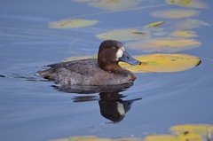 Female Lesser Scaup (Neal D) Tags: bc abbotsford milllake bird scaup lesserscaup aythyaaffinis