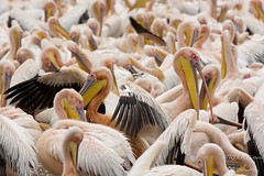 Pelican Frenzy (TRVLR Pictures) Tags: lakemanyaranp pelicans greatwhitepelicans gathering activity