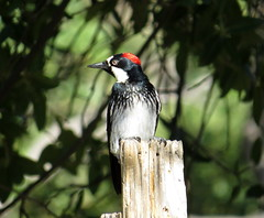 Showing off my red cap! Acorn woodpecker (Melanerpes formicivorus), Madera Canyon, Arizona, May 2019 (Judith B. Gandy (on and off, off and on)) Tags: acornwoodpeckers maderacanyon melanerpesformicivorus arizona aves birds tucson woodpeckers bokeh