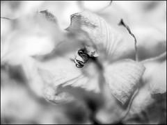 PB250016_B_flbw - orchideenkrake (gemischtersatz) Tags: österreich austria at mirrorless mft olympus voitgländer nokton olympusem1ii voigtländernokton25mmf095 noiretblanc