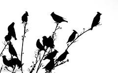 Bohemian Waxwing (aixcracker) Tags: bombycillagarrulus bohemianwaxwing sidensvans tilhi bird fågel lintu autumn höst syksy november marraskuu borgå porvoo suomi finland europe europa eurooppa nikond4s sigmas150600mmf5063 nature natur luonto birdsoffinland suomenlinnut fåglarifinland nikonnaturephotography mynikonmoment iso3200