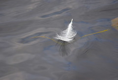 Floating Feather (Neal D) Tags: bc abbotsford milllake water feather