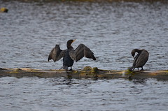 Drying and Pruning (Neal D) Tags: bc abbotsford milllake bird cormorant doublecrestedcormorant phalacrocoraxauritus