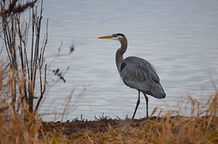 Watcher At The Pond (Neal D) Tags: bc abbotsford willbandcreekpark bird heron greatblueheron
