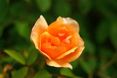 Orange Rose (nickant44) Tags: orange green rose flower garden bokeh pentax czj tessar australia 50mm k100d m42