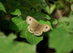 THE COMMON FIVERING - Ypthima baldus (nikolayloginov) Tags: ypthimabaldus butterfly thailand бабочка таиланд